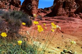 wild desert flowers in spring stock photo picture and royalty