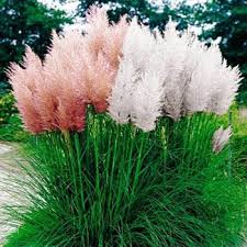 pas grass seed mix cortaderia selloana ornamental grass seeds