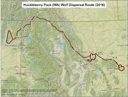 Map Of Idaho And Montana by Wolf Killed After Traveling 700 Miles In Three Months And Finding