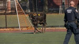 loose calf runs to prospect park police say am new york