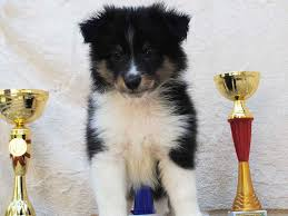 belgian sheepdog south africa jack shetland sheepdog puppy for sale euro puppy