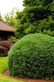 38 best conifers images on pinterest monrovia plants plant