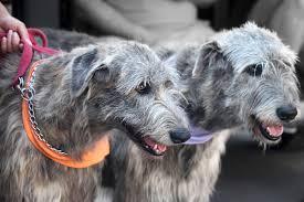 afghan hound vs wolfhound istock 499381567 jpg