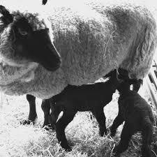 lamb blog national museum wales