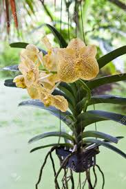 vanda orchid spotted vanda orchid stock photo picture and royalty free image