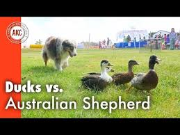 australian shepherd youtube herding search result youtube video herding group breed group