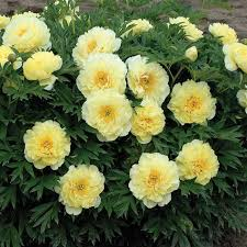 yellow peonies bartzella itoh hybrid peony jung garden and flower seed company