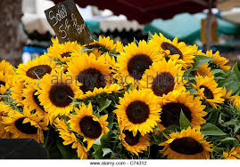 sunflowers for sale market sunflower stock photos market sunflower