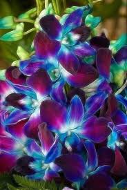 Blue Orchid Flower - best 20 purple orchids ideas on pinterest u2014no signup required