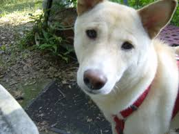 lexus on the park fax number adopted lexus 2 1 2 yr old female shiba inu shiba inu rescue of