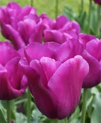 tulip passionale triumph tulips tulips flower bulb index