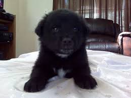 chow chow x belgian malinois 22 best gsd mixed with chow chow images on pinterest german