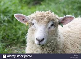 cotswold lion lamb stock photo royalty free image 153950643 alamy
