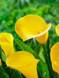 cala lillies calla bulbs hgtv