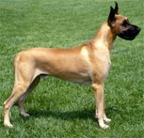 Blind Great Dane Adopt A Great Dane Dog Breeds Petfinder