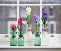 How To Grow A Bulb In A Vase How To Grow Hyacinth Flowers Indoors
