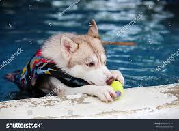 siberian husky dogs wear life jacket stock photo 460813714