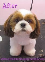 list of shih haircut hamlet the shih tzu before after dog grooming exle shiz tzu