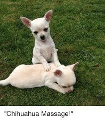 Memes De Chihuahua - chihuahua massage chihuahua meme on sizzle