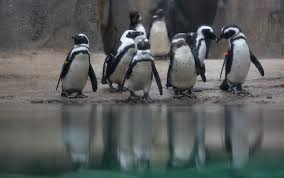 Lincoln Park Zoo Holiday Lights by Penguins Making A Comeback At Lincoln Park Zoo Chicago Tribune