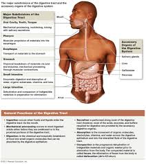 Picture Of The Abdomen Organs Digestive System