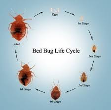 How To Identify Bed Bugs Can I Break My Apartment Lease Because Of Bed Bugs Is There A Way