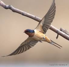 Barn Swallow Tattoo Designs 56 Best Hirondelles Images On Pinterest Barn Swallow Animals