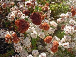 native northern california plants mother nature u0027s backyard a water wise garden plant of the month