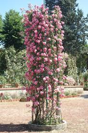 climbing roses ludwigs rosesludwigs roses u2026 pinteres u2026