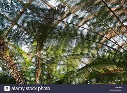 tree fern growing in the winter garden glasshouse in sheffield