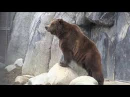 Ozzy The Grizzly Bear Picks The Eagles To Win The Super Bowl Local - 226 best brown bears images on pinterest wild animals nature