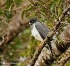 Image result for Accipiter haplochrous