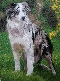 australian shepherd husky australian shepherd
