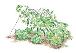growing vegetable gardens zucchini