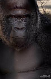 262 best silver back images on pinterest silverback gorilla