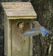 attracting bluebirds to your backyard outdoor alabama