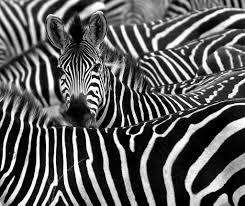 why are zebras striped pitara kids network