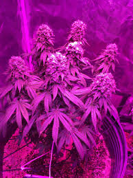which led grow lights are best for growing cannabis grow weed easy