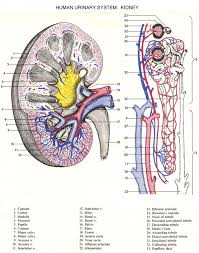 Pgcc Anatomy And Physiology Lab Practical Ap206