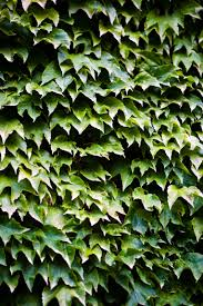 how to grow vines on a concrete block wall home az exterior