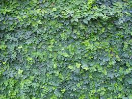 native plants of japan ficus pumila moraceae native japan east asia taiwan