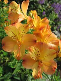 Alstroemeria Alstroemeria Aurantiaca Buy Online At Annie U0027s Annuals