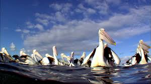 outback pelicans pelican facts nature pbs