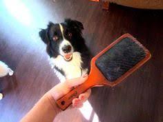 australian shepherd grooming needs before and after shaving our australian shepherd my puppy