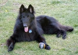 belgian shepherd rescue dogs adoption info belgian sheepdog rescue trust