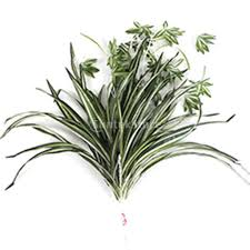Spider Plant by Online Get Cheap Silk Spider Plants Aliexpress Com Alibaba Group