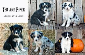 3 winds ranch australian shepherd crown point commander in chief ted black tri male australian