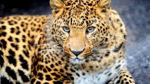 animal leopard desktop wallpaper hd for mobile phones and laptops