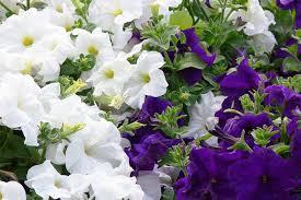 Shrub With Fragrant Purple Flowers - 19 fragrant flower and shrub favorites gardener u0027s path
