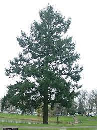 douglas fir tree douglas fir